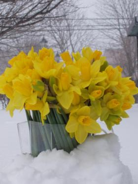 daffodils-in-snow